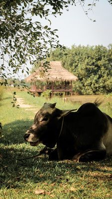 Holy Cow in Kumarakom