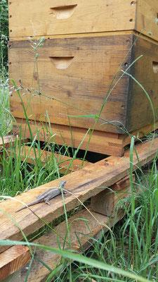 kleine Besucher am Bienenstand