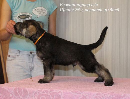 ORANGE BOY (AMBASSADOR) - 41 days old ......