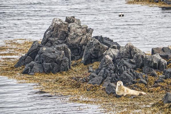 Robben in Island