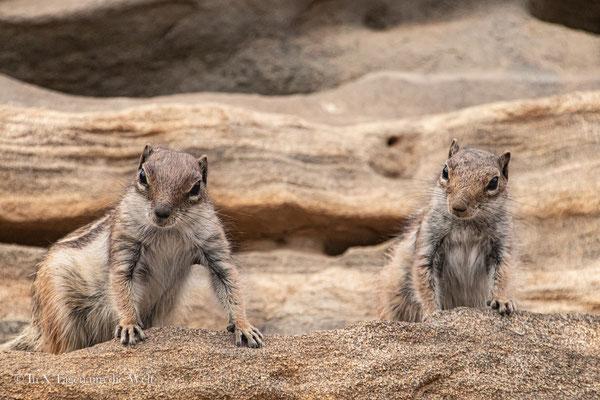 Fuerteventura Sehenswürdigkeiten Atlashörnchen