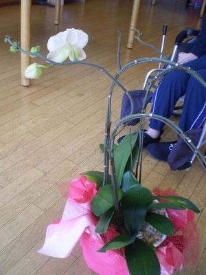 冬を越え、再び咲き始めた「胡蝶蘭」