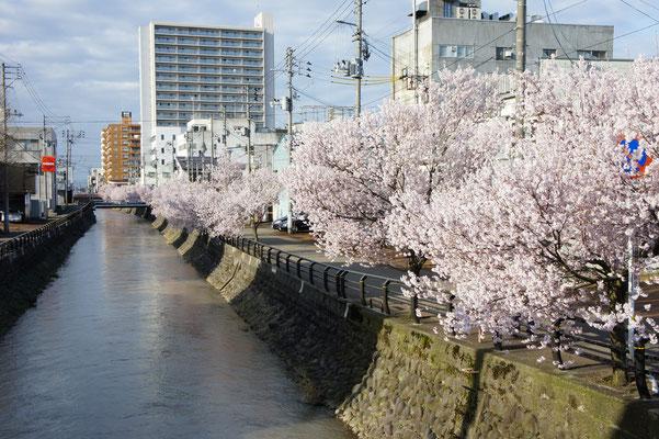 儀明川沿いに咲く桜は、すでに満開でした