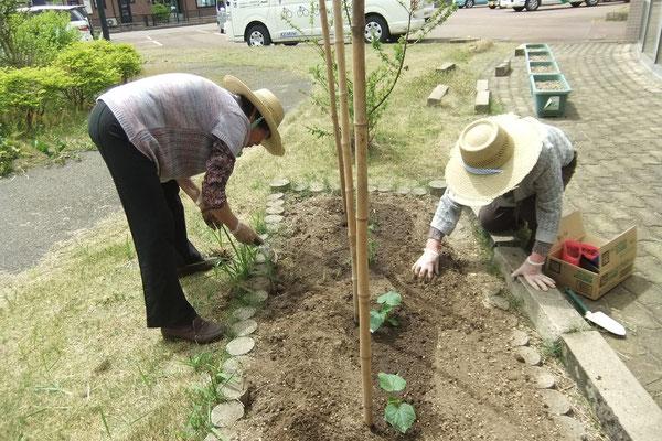 ミニ菜園には、夏野菜の苗を植えました。