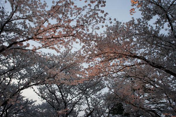 高田の桜は90歳。それでも、輝きつづけています