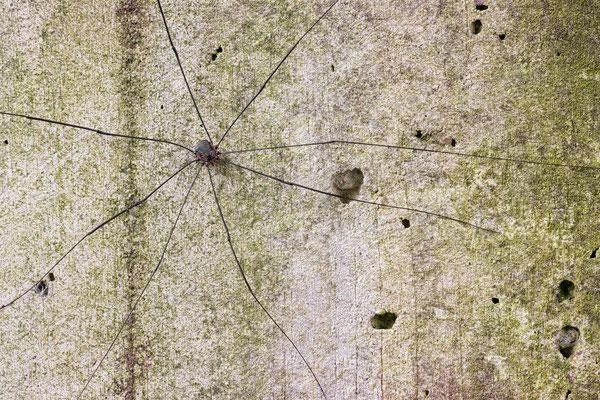 Leiobunum spec. A, Männchen