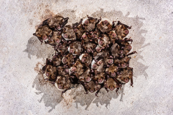 Großes Mausohr - Cluster im Winterquartier