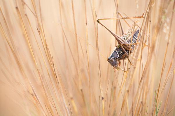 Heideschrecke