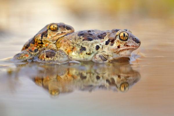 Knoblauchkröten