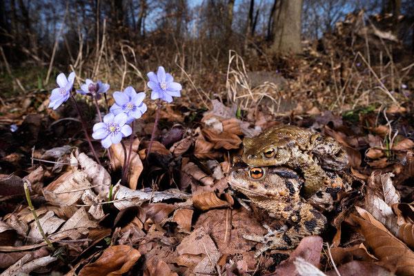 Erdkröten im Frühlingswald