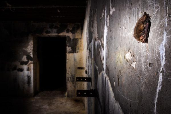 Braunes Langohr in einem Bunker