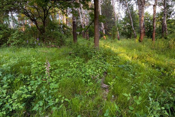 Violetter Dingel (Limodorum abortivum) in der Lobau
