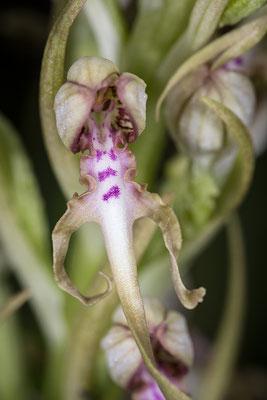 Adriatische Riemenzunge (Himantoglossum adriaticum)