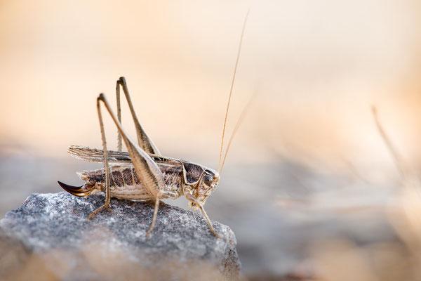 Braunfleckige Beißschrecke