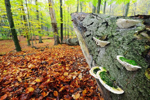 Totholz im Grumsin