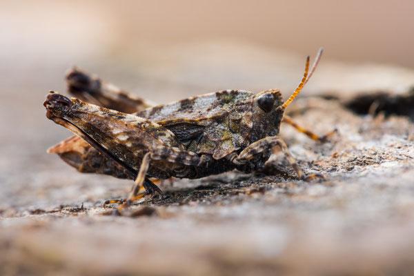 Gemeine Dornschrecke