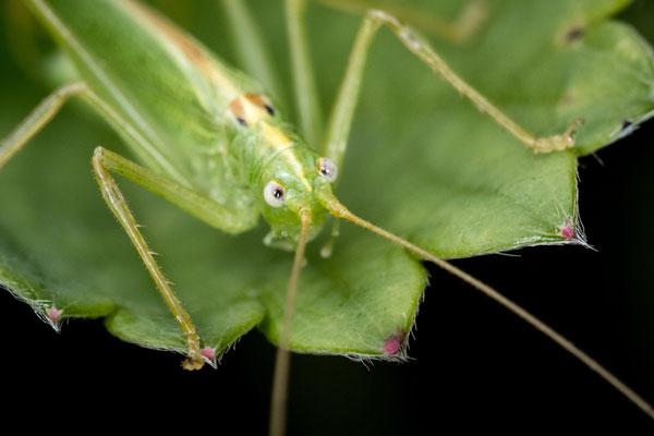 Gemeine Eichenschrecke