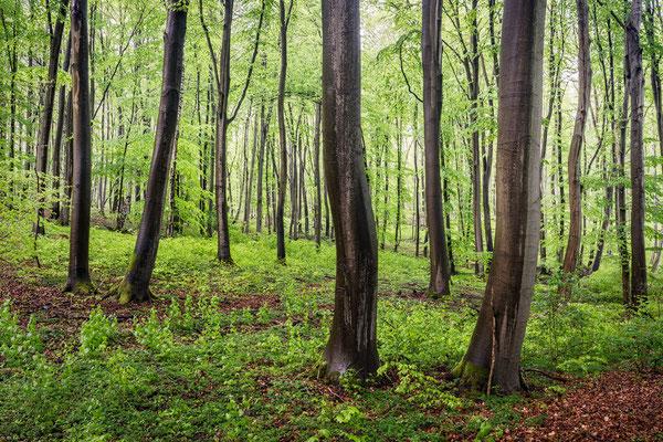 Buchenwald im Melzower Forst