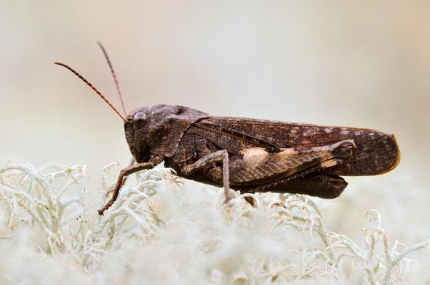 Rotflügelige Schnarrschrecke