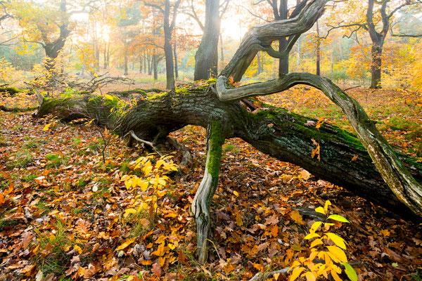 Totholz im Eichenwald
