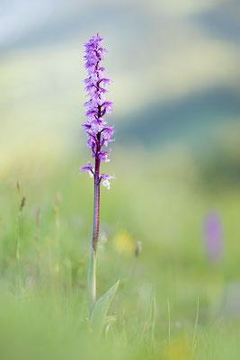 Prächtiges Manns-Knabenkraut (Orchis mascula subsp. speciosa)