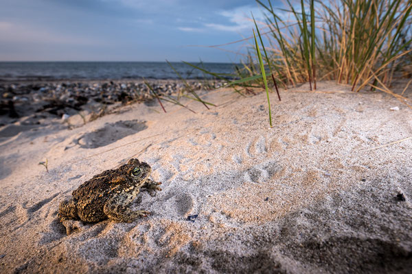 Kreuzkröte am Ostseestrand
