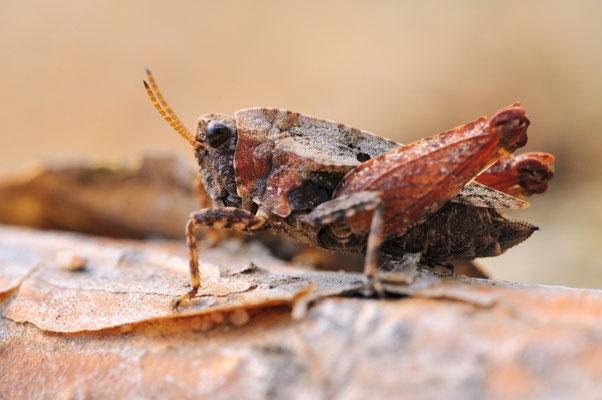 Kurzflügel-Dornschrecke