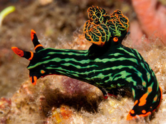 Nudibranche à tulamben