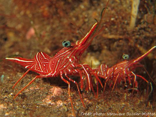 Crevettes Durban, coral garden à Tulamben