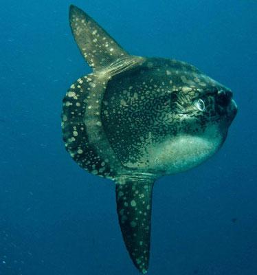Poisson lune, Mola Mola, Mimpang, Padang Bai
