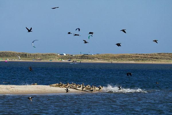 Aufbruch zur Jagd - Robben und Kormorane