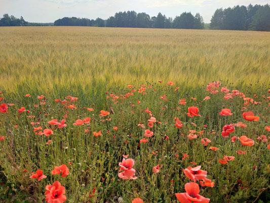 Bunte Blumenwiesen in Litauen