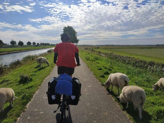 Belgische Schafe am Wegrand