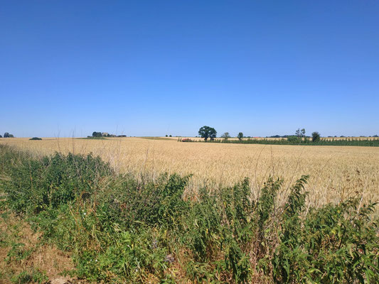 Gelbe Getreidefelder überall...