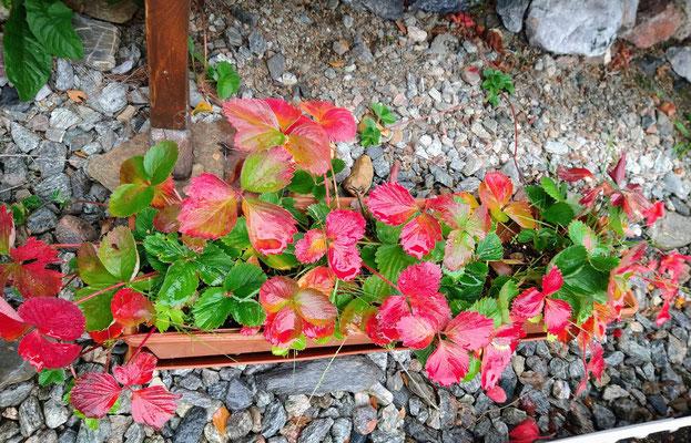 Auch die Erdbeerpflanzen mit Herbstfärbung