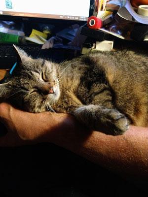 Itzys Lieblingsliegeposition auf Knuts Schreibtisch vor der Tastatur
