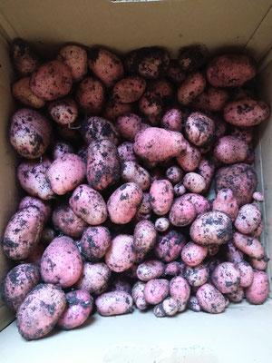 Kartoffelernte der roten Kartoffeln
