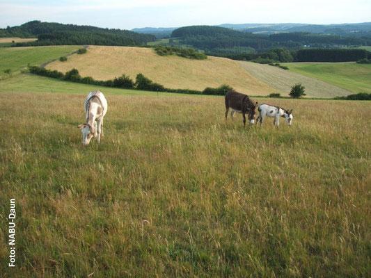 Nun beginnt Benni, im Schutz von Vater Calichon (li.) und Mutter Babette die 18 ha großen Weidegründe am Weinfelder Maar zu erkunden.