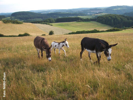 Die Eselstute Suzanne begleitet des öfteren Mutter und Fohlen.