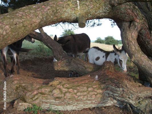 Die Kieferngruppe bildet den regelmäßigen Aufenthalts- und Ruheort der Eselgruppe.