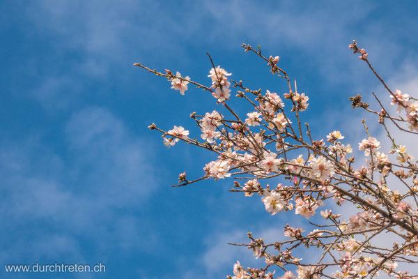 Jetzt im Süden: Mandelblüten überall.