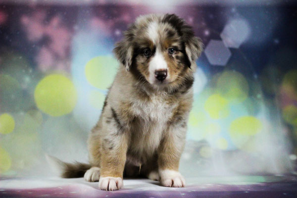 Rhine River's Upgrade 2.0 (red merle w/c - male - 18/06/18 - Ivy x Henry)