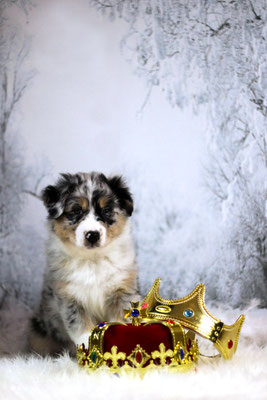 Rhine River's Crown Hunter (blue merle - female - 28/11/17 - Sunny x Boston)