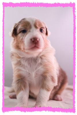 Rhine River's Viking Dream (red merle - female - 23/11/15 - Pixie x Boston)
