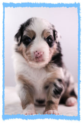 Rhine River's Jolly Roger (blue merle - male - 23/11/15 - Pixie x Boston)