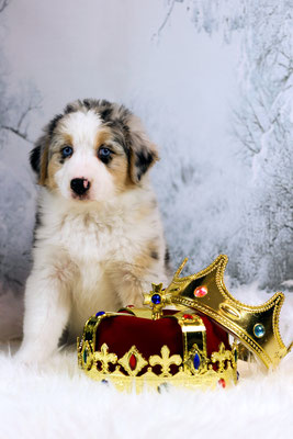 Rhine River's Empire Escort (blue merle - female - 28/11/17 - Sunny x Boston)