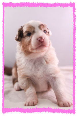 Rhine River's Port Royal (red merle - female - 23/11/15 - Pixie x Boston)