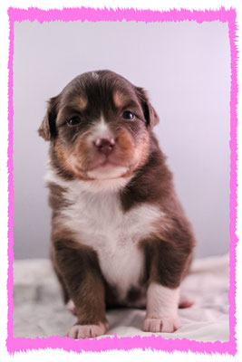 Rhine River's Treasure of Tortuga (red tri - female - 23/11/15 - Pixie x Boston)