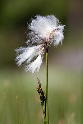 Schmalblättriges Wollgras (Eriophorum angustifolium) - Bild 002 - Foto: Regine Schadach