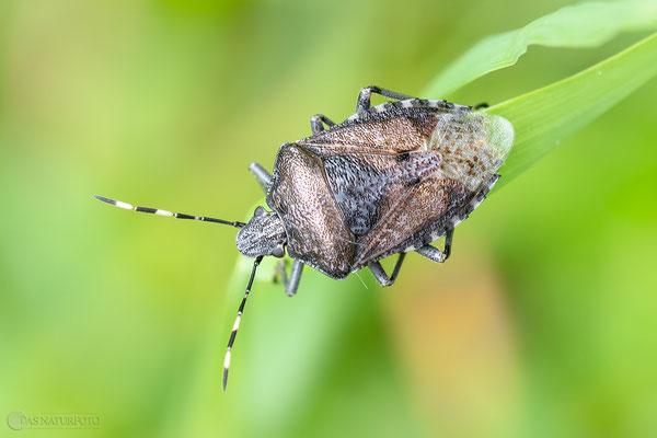 Graue Gartenwanze (Rhaphigaster nebulosa) - Bild 001 - Foto: Regine Schadach